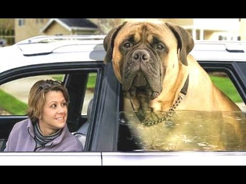Top 10 Biggest Dogs In The World – With Funny Dog Videos By Breeds Compilation
